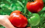 Можно ли есть помидоры при подагре